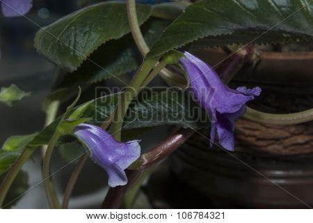 Violet gloxinia
