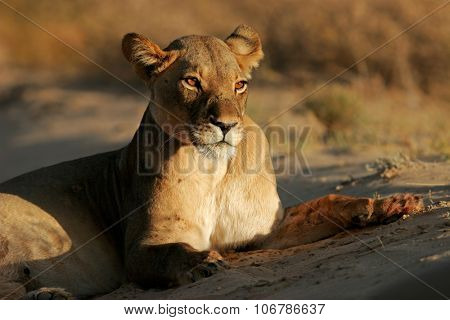 A lioness (Panthera leo) lying down in early morning light, Kalahari desert, South Africa