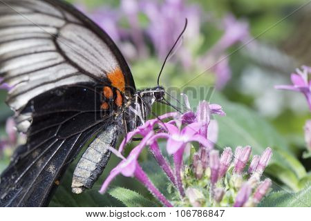 Butterfly Taking Nector From A Purple Plant
