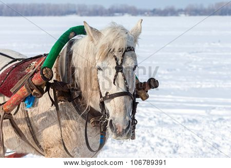 Head of white horse with harness in wintertime