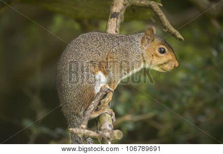 Grey squirrel Sciurus carolinensis sitting on a branch