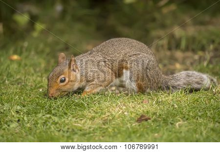 Grey squirrel Sciurus carolinensis sitting on the grass smelling