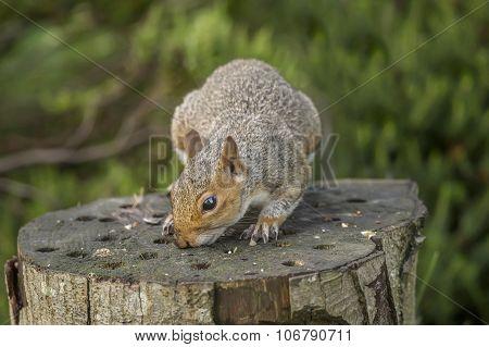 Grey squirrel Sciurus carolinensis sitting on a tree trunk smelling