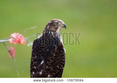 Accipiter Cooperii Cooper's Hawk