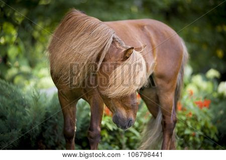 Miniature Chestnut Horse Portrait