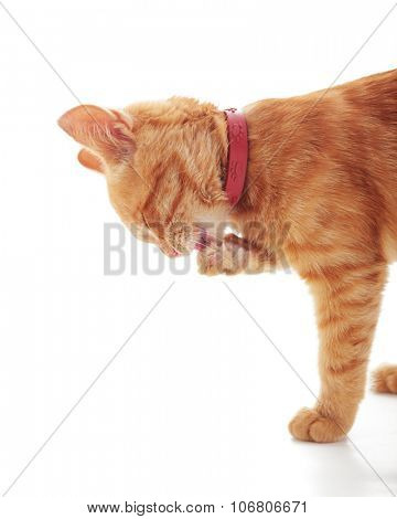 Cute ginger kitten licking his paw isolated on white background