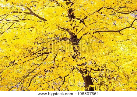 Autumn Tree With Yellow Leaves Foliage