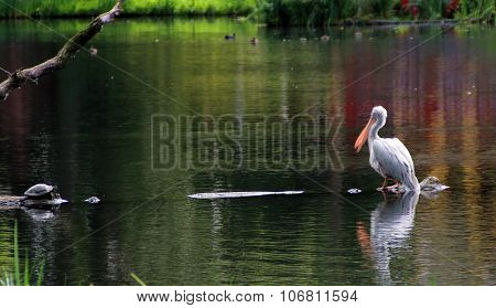The Pelican On The Water