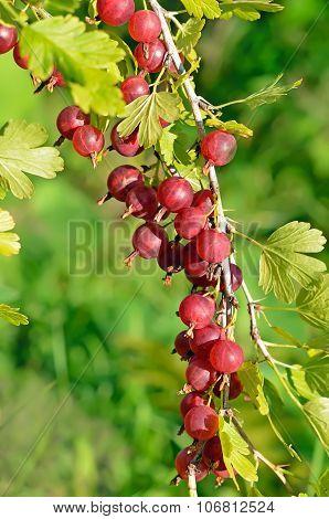 Red Ripe Gooseberries On Branch