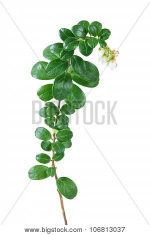 Flowering Lingonberry Isolated On White Background