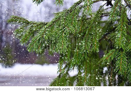Branches Of Pine With Drops And Falling Wet Snow