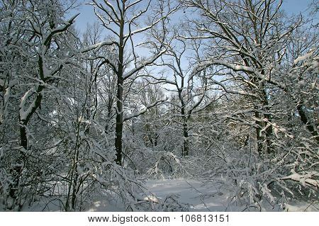 Winter Forest. Trees Branches Bent Under The Weight Of Snow