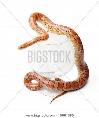Corn Snake In A Glass On The White (elaphe Guttata)