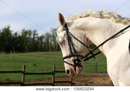 Wonderful White Horse Galloping On Meadow
