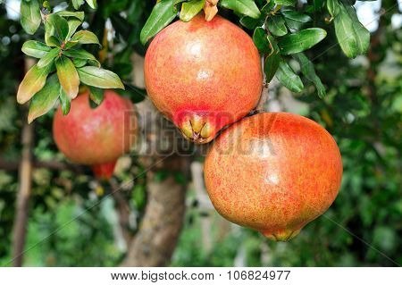 Pomegranate On The Branch