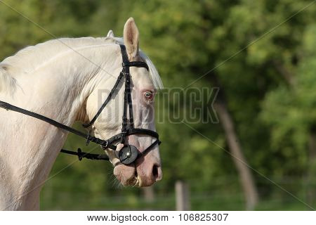 Special Blue-eyed Gray Stallion Posing On Dressage Training