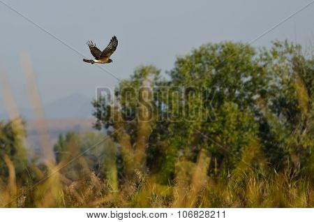 Northern Harrier Flying Over The Marsh