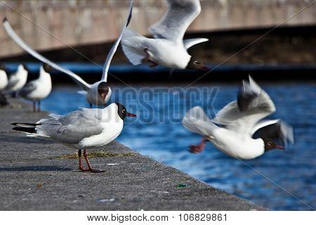 Black-headed gull standing at the stone embankment