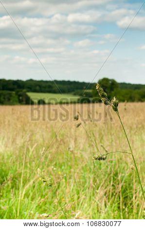 Single long grass