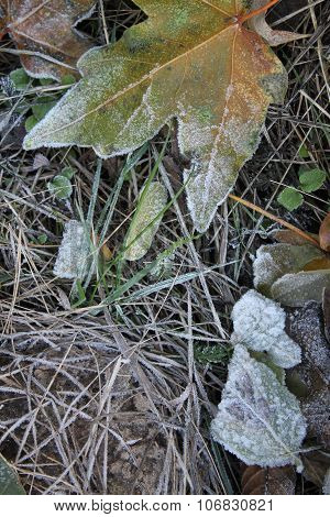 Leaves And Grass Covered With Hoarfrost