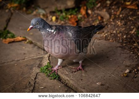 Pigeon walking on a ground