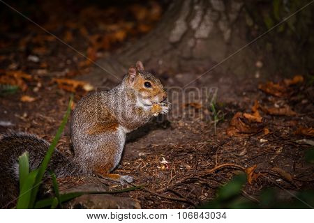 Squirrel eating nut