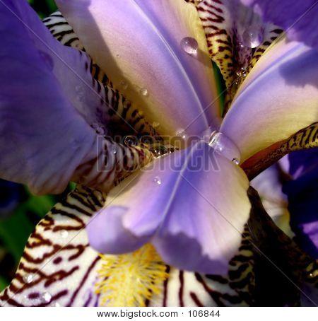 Flor de iris 3