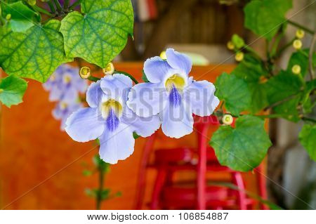 beautiful blue purple soft nice flower of Laurel clock vine, Blue trumpet vine, Thunbergia laurifoli