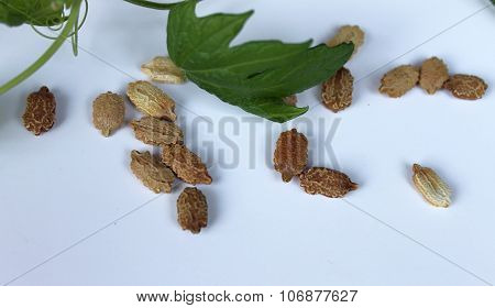 Momordica plant with leaves and seeds liana
