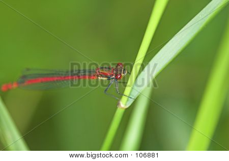 Damselfly Eye Wipe