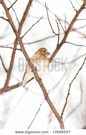 Wild American Goldfinch In Winter Plumage In The Snow