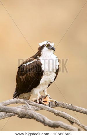 Wild Osprey With Fish In Talons