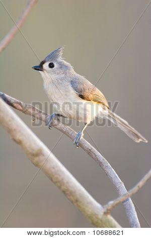 Wild Tufted Titmouse Bird
