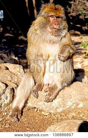 Old Monkey In Africa   And Natural Background