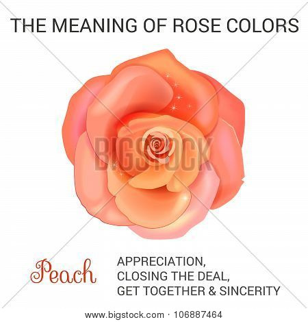 Peach rose infographics