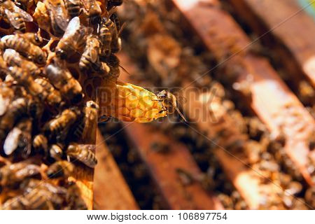 Close Up View Of The Working Bee On Honeycomb.
