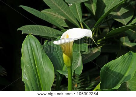 Closeup of a Zantedeschia aethiopica