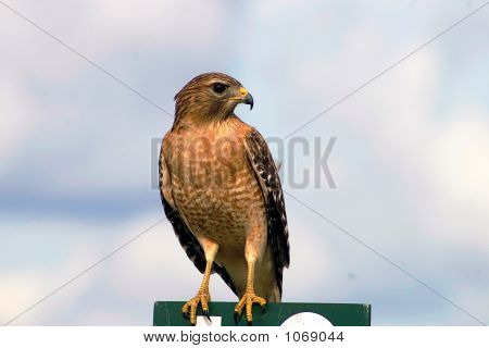 Hawk On Perch