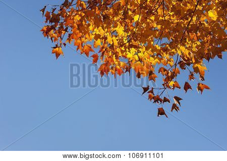 Orange Maple Leafs,blue Sky.