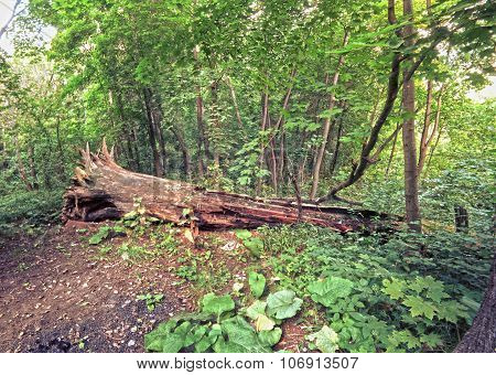 Dense Forest With Wooden Stump