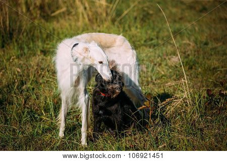 Black Mixed Breed and Hunting Dog and White Russian Borzoi, Borz