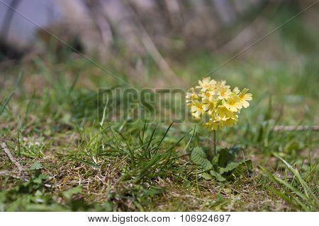 Yellow Cowslip In The Sun