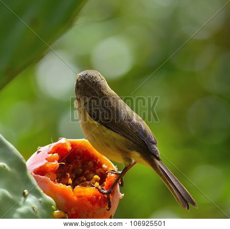 Phylloscopus canariensis on prickly pear
