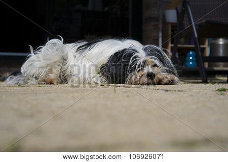 Tibetan Terrier Resting On A Porch