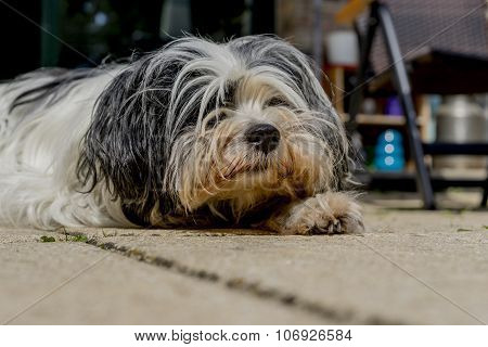 Tibetan Terrier Looking Up From A Nap