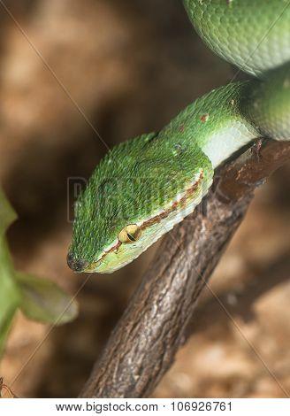 Tropical Venomous Snake
