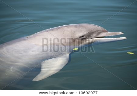 Bottlenose Dolphin Resting On Water