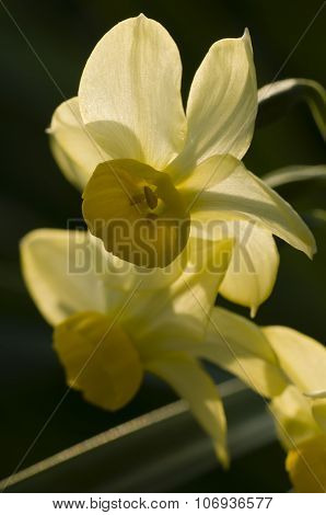 Close Up Of Yellow Narcissus Flowers