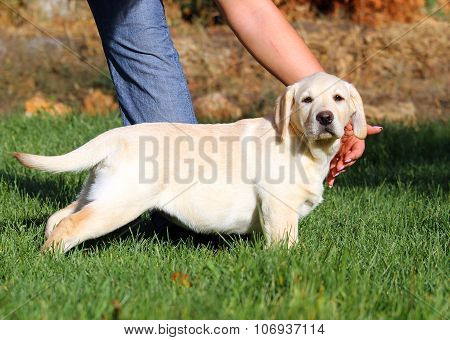 Little Cute Yellow Labrador Puppy Playing In Green Grass