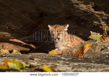 Female Cougar Kitten (puma Concolor) Hides